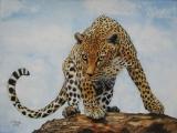 Leopard - Mai 2013